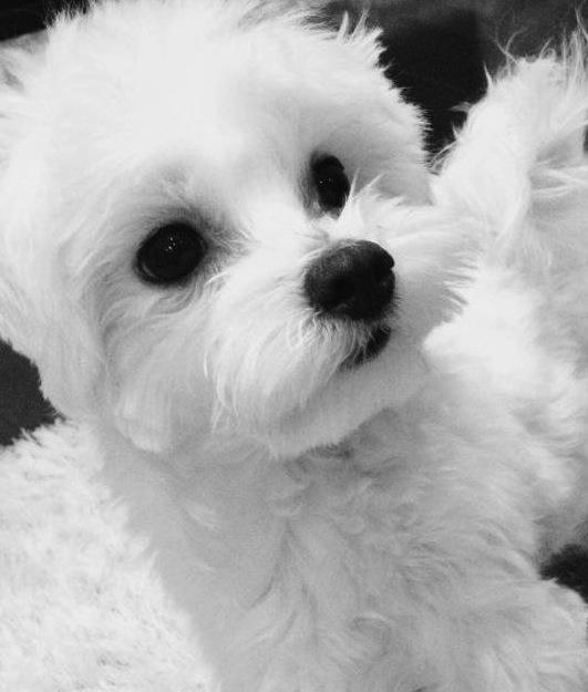 Tiny toy Maltese puppy