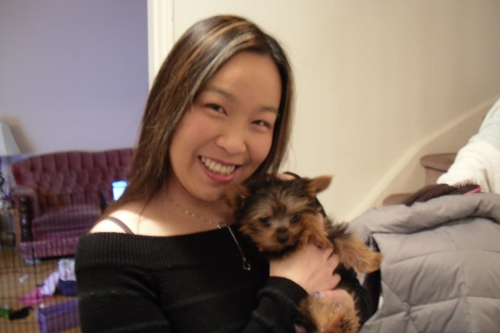 Sapphio Chu - Tiny Toy Teacup Yorkie Puppy, Markham, Ontario