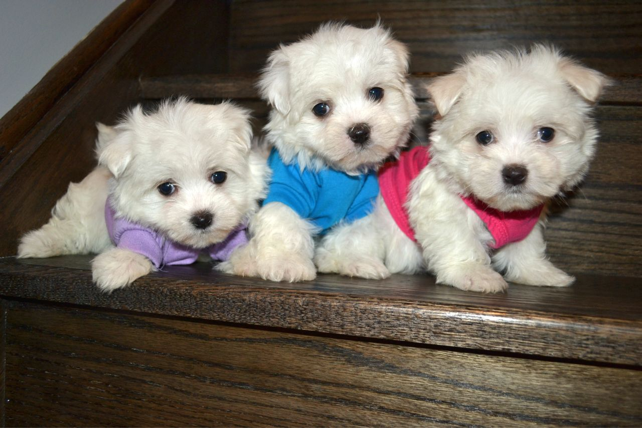 TEDDY BEAR MALTESE
