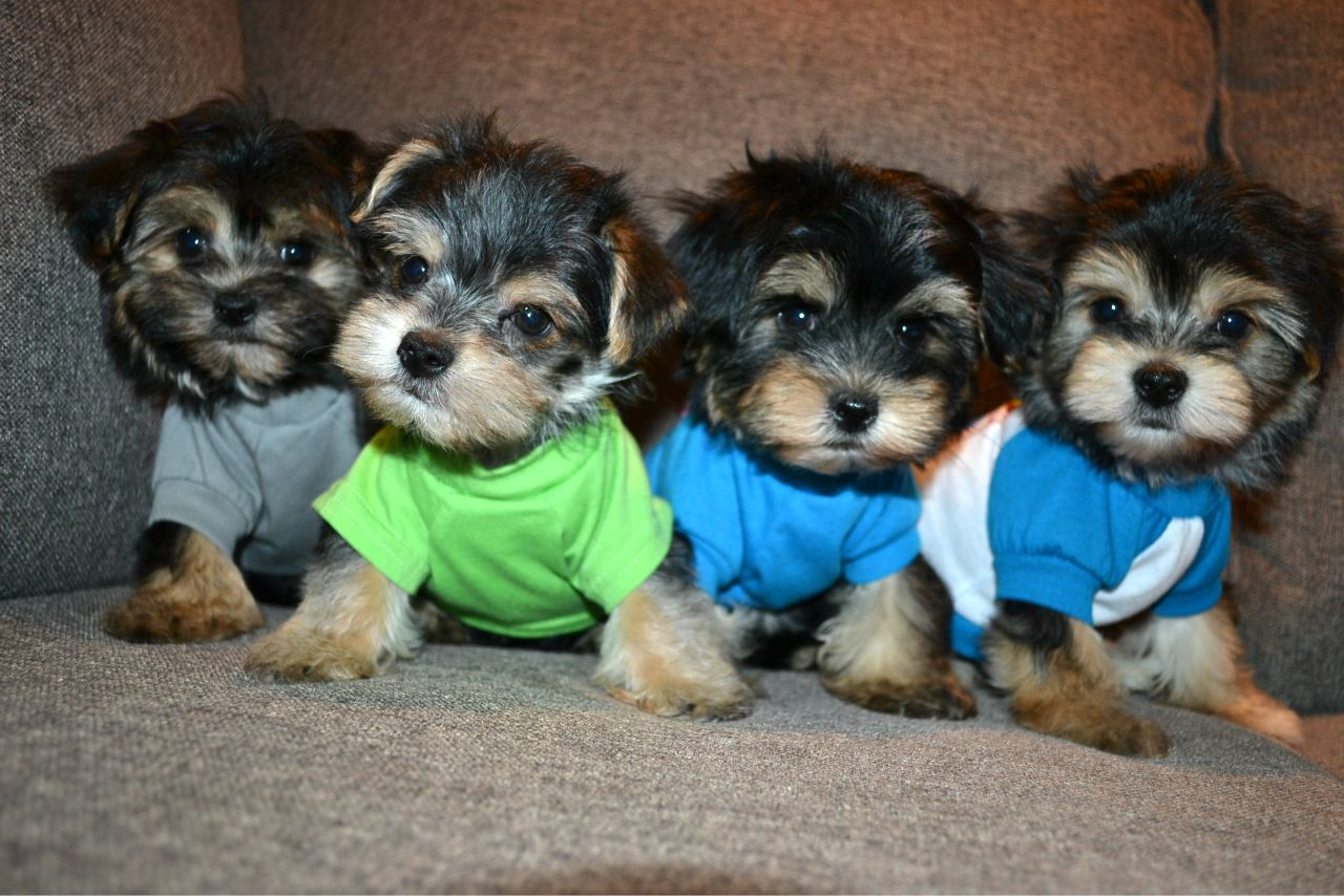 TEDDY BEAR MORKIES