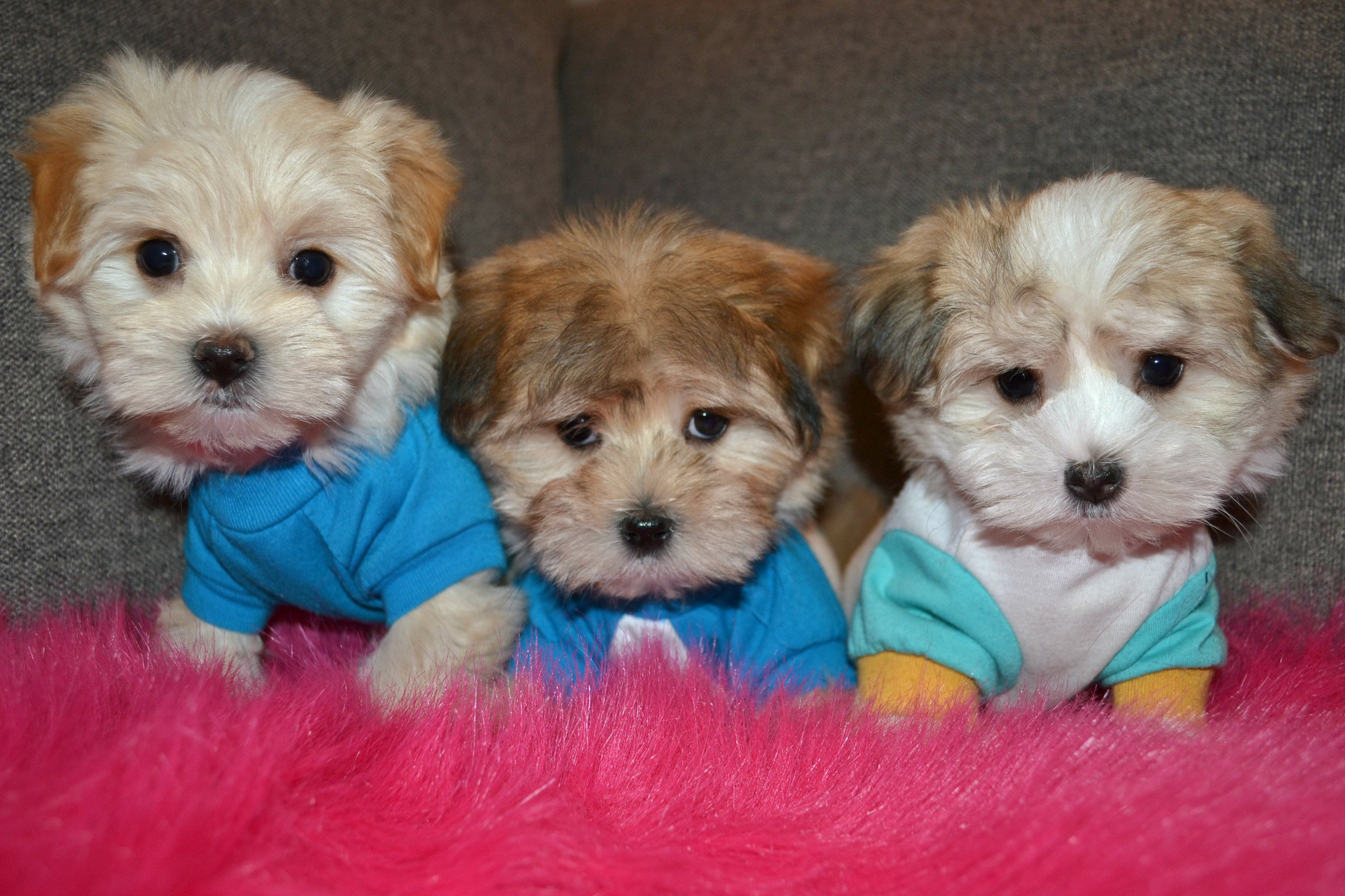 LIGHT TEDDY MORKIES