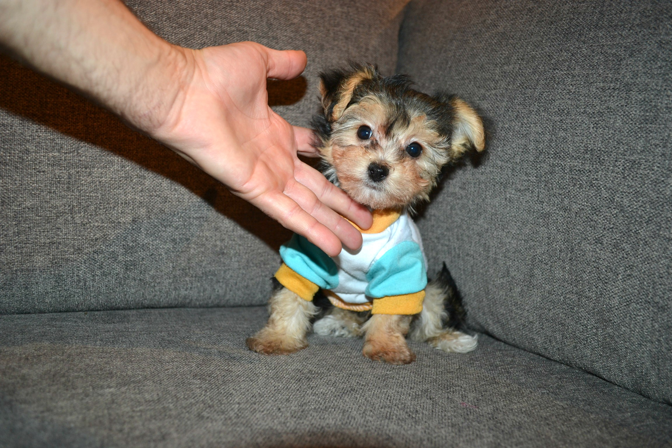 T-CUP TEDDY MORKIE