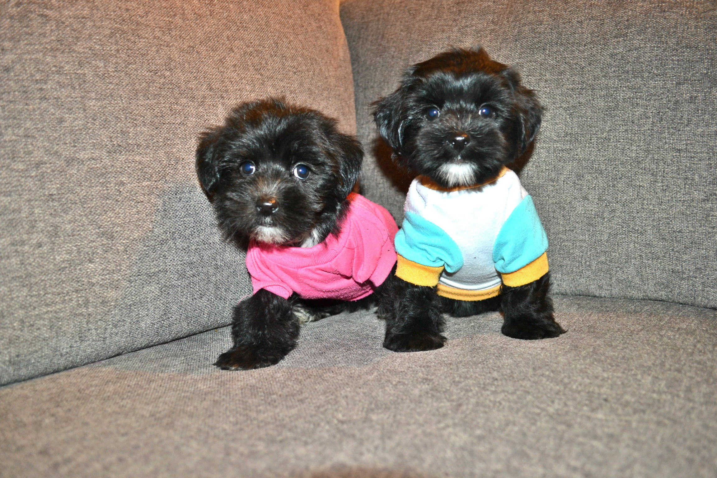 BLACK TEDDY MORKIES