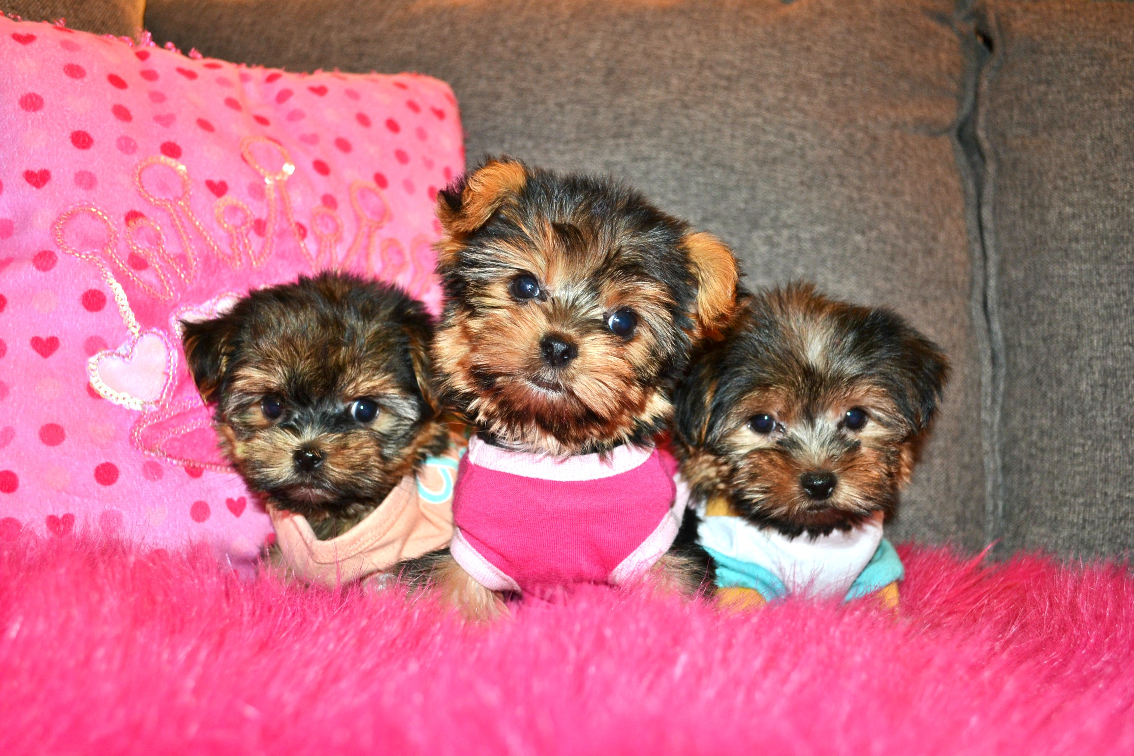 TINY TEDDY YORKIES