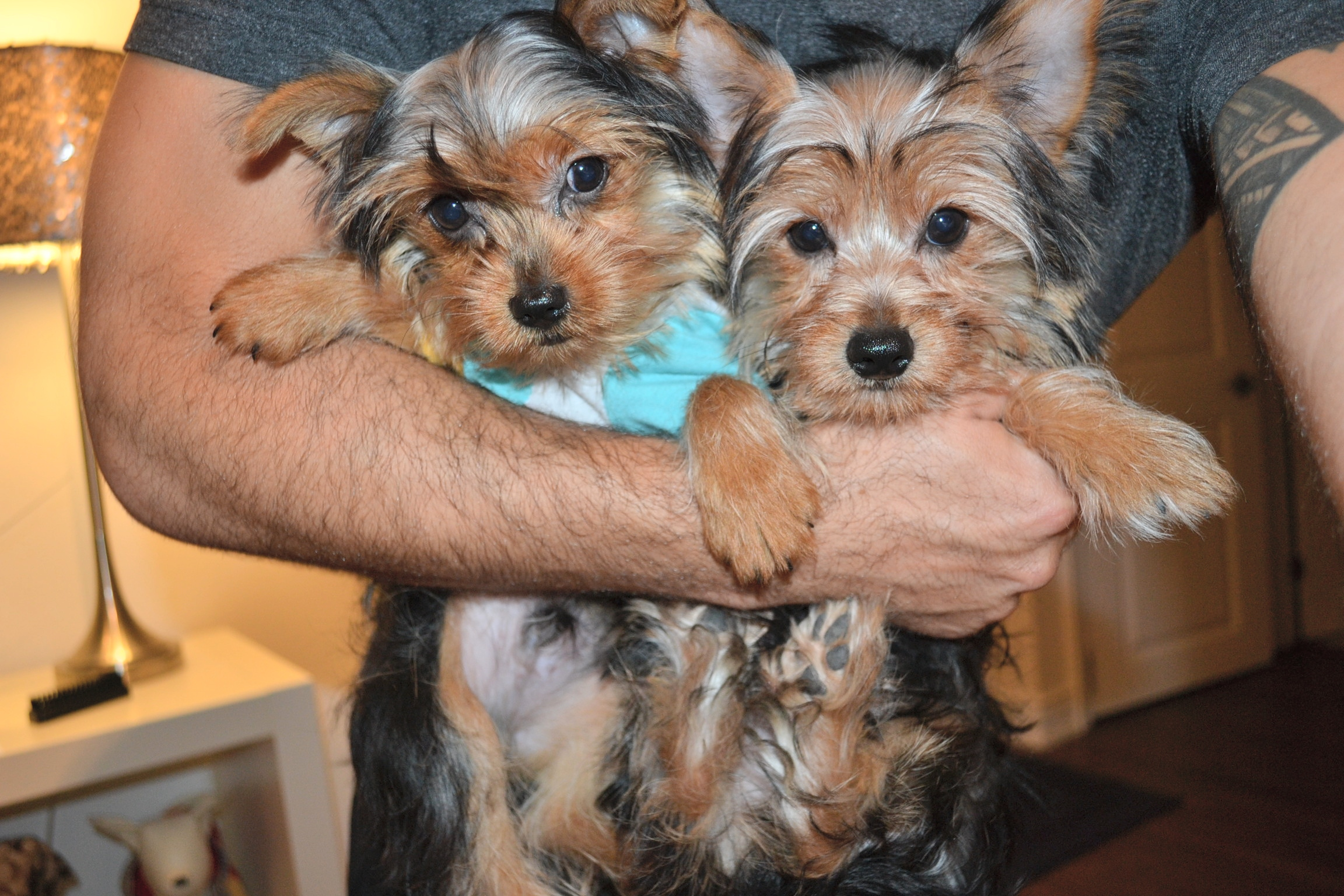 TEDDY BEAR YORKIES