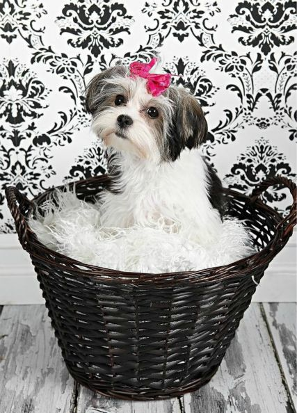 FEMALE TRI-COLORED MORKIE  - DIOR