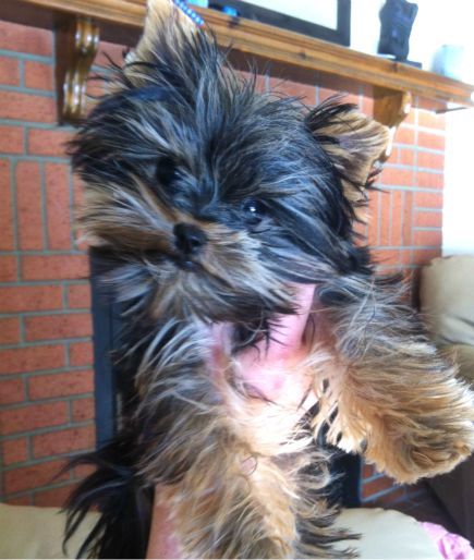 MICRO TEACUP YORKIE PUPPY, ONLY 1.6 LBS FULLY GROWN!!!!