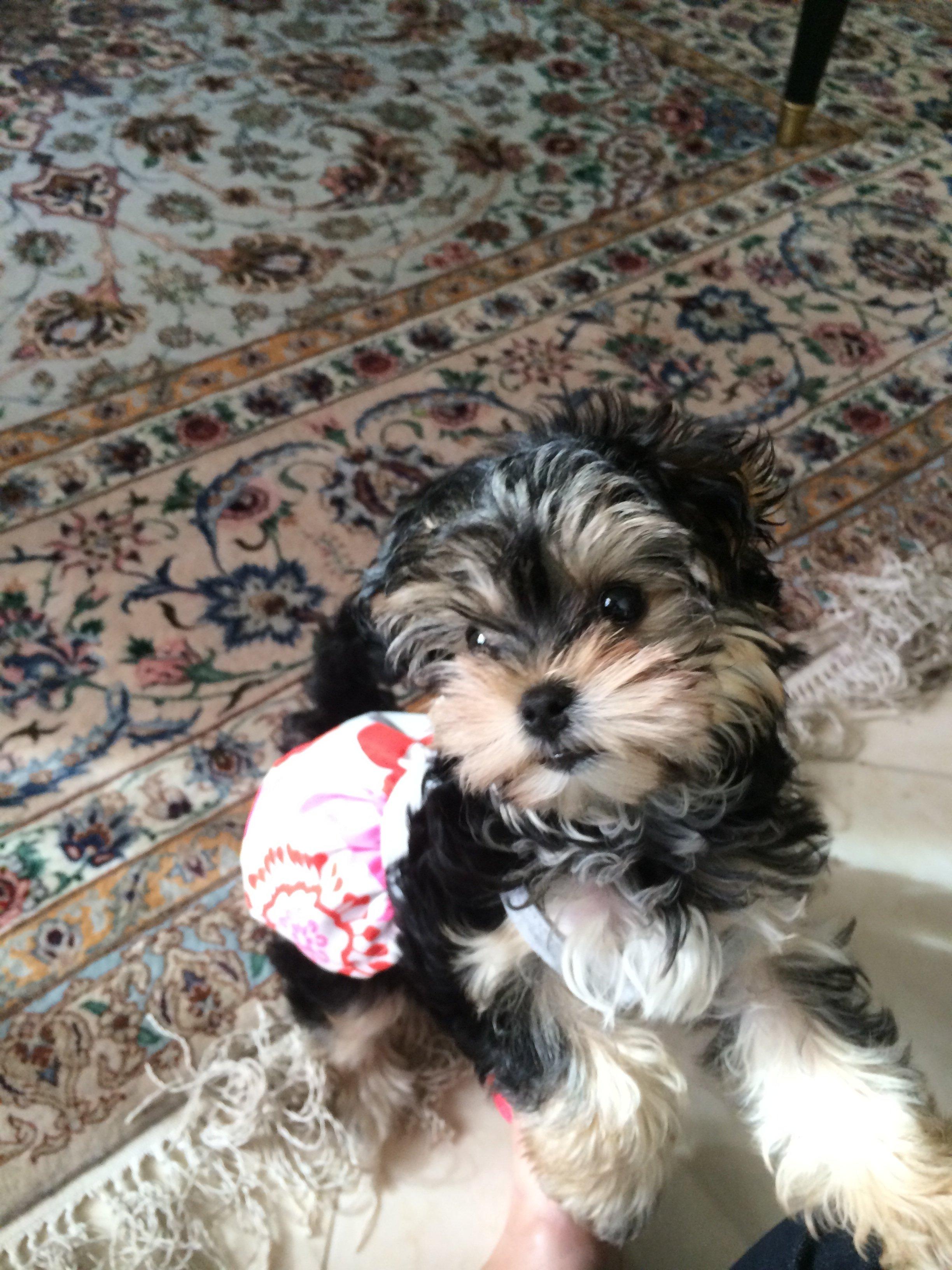 Dogs, Puppies, Mini Pups, Teacup Pups for Sale Toronto, GTA