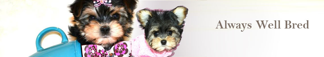 Dogs, Puppies, Mini Pups, Teacup Pups for Sale Toronto, GTA