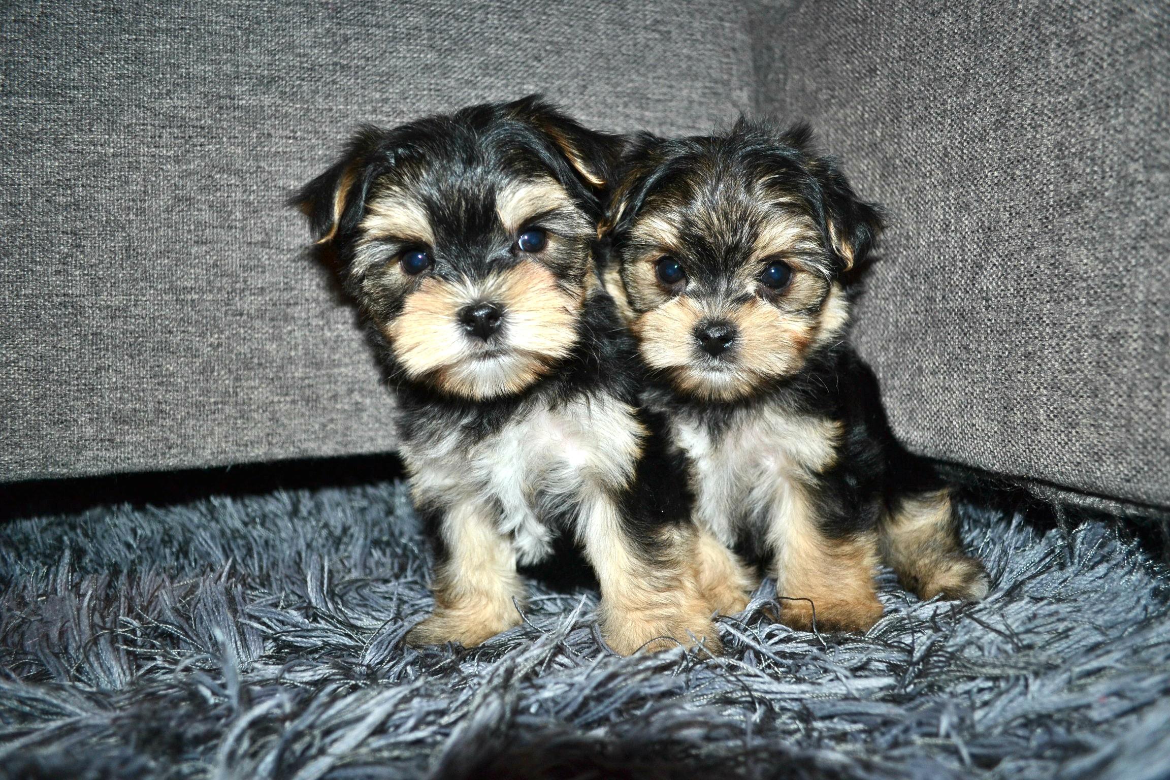 Puppies for Sale - Morkies, Maltese, Yorktese, Malshi