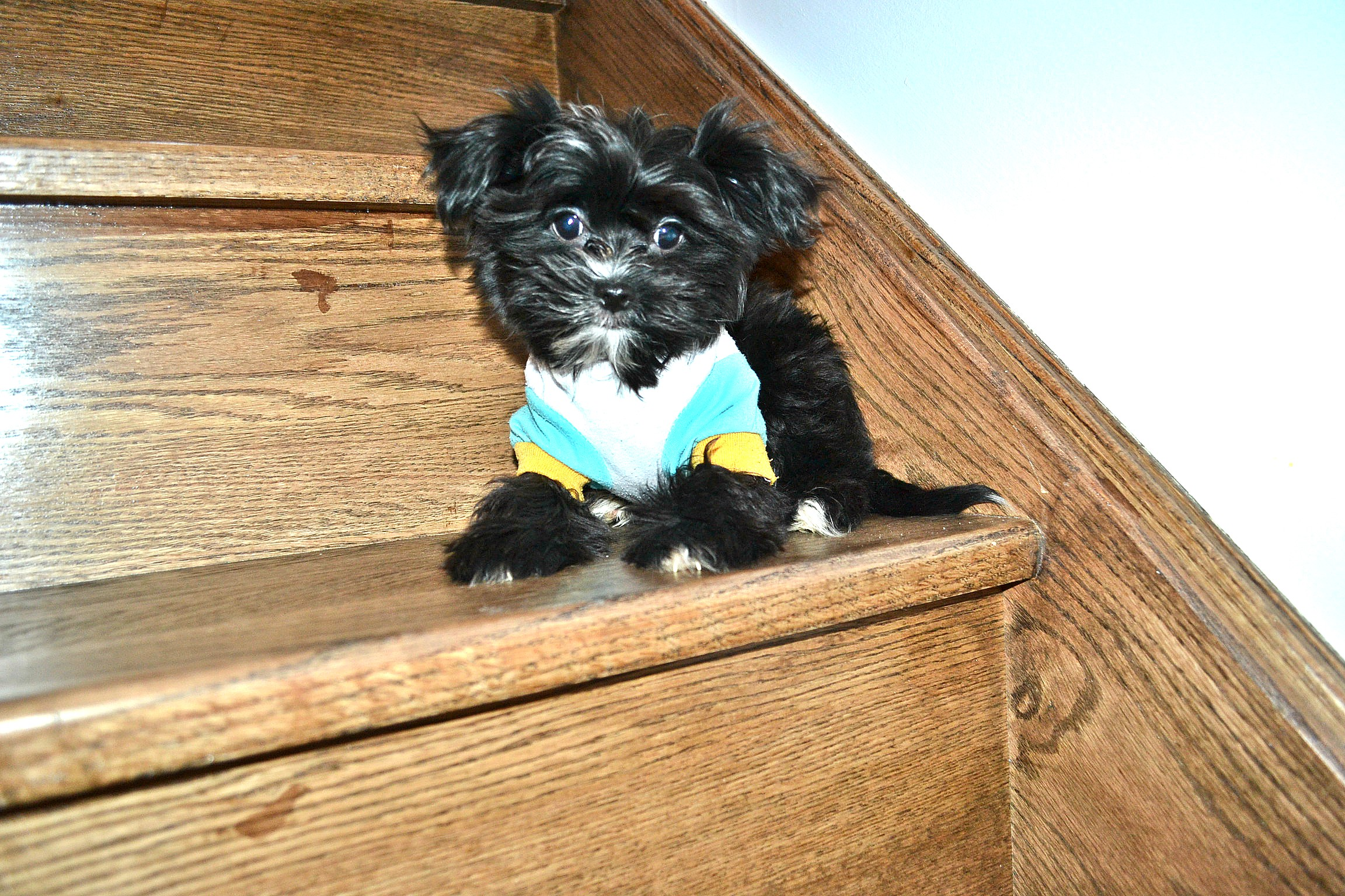 BLACK/WHITE MORKIE